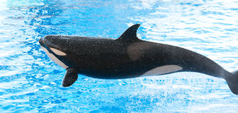 Jumping orca on the blue water background Stock Photos