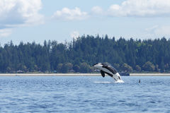 Jumping Orca or killer whale. Orca or killer whale swimming at Lund Canada Royalty Free Stock Photography