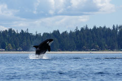 Jumping Orca or killer whale. Orca or killer whale swimming at Lund Canada royalty free stock images