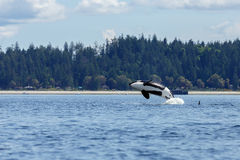 Jumping Orca or killer whale. Orca or killer whale swimming at Lund Canada Royalty Free Stock Photo