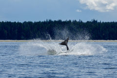 Jumping Orca Stock Images