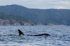 Jumping Orca Royalty Free Stock Image