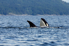 Jumping Orca Royalty Free Stock Photography