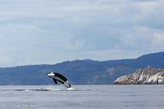 Jumping Orca Royalty Free Stock Photos