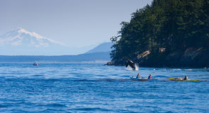 Jumping orca whale near canoeist. Jumping orca whale or killer whale royalty free stock photography