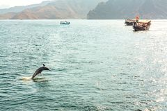 Jumping out of the water dolphin and pleasure boats in the Gulf of Oman.  royalty free stock image