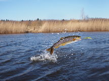 Jumping out from water salmon Stock Photography