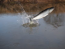 Jumping out from water salmon Royalty Free Stock Photo