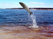 Jumping out from water  trout Royalty Free Stock Photography