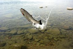 Jumping out from water trout