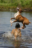 Jumping Over. Boxer dog jumping into a pond with a Bull Mastiff stock image