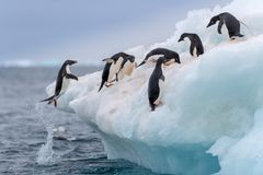 Jumping penguin. An Adelie (Adélie) penguin jumps on to an iceberg. Jumping penguin. Adelie (Adélie) penguin jumping high on to an royalty free stock photo