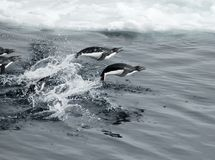 Jumping penguins royalty free stock photo