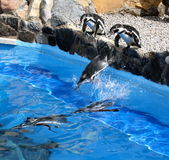 Jumping penguins Royalty Free Stock Images