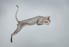 Jumping Peterbald Sphynx Cat on White Royalty Free Stock Photos