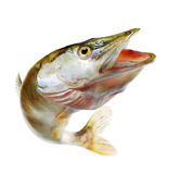 Jumping pike Royalty Free Stock Image