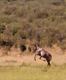 A jumping playful Topi Antelope Royalty Free Stock Photos