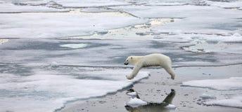 Jumping polar bear Royalty Free Stock Images