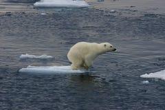 Jumping Polar bear cub 1 royalty free stock photo