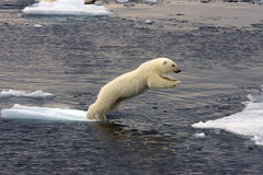 Jumping Polar bear cub Royalty Free Stock Photography