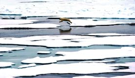 Jumping Polar Bear. A polar bear jumps from one ice sheet to another near the North Pole royalty free stock images