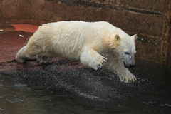 Jumping polar bear juvenile Stock Images