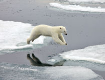 Jumping polar bear Stock Image