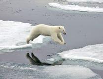 Jumping polar bear. In natural environment Stock Image