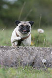Jumping pug Stock Photo