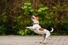 Jumping puppy Jack Russell Terrier Stock Images