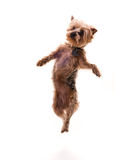 Jumping puppy Royalty Free Stock Photo
