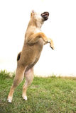 Jumping puppy. Jumping shiba inu puppy on the grass Royalty Free Stock Images