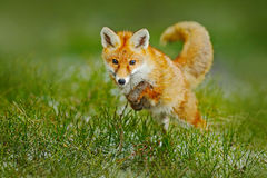 Jumping red fox. Running Red Fox, Vulpes vulpes, at green forest. Wildlife scene from Europe. Orange fur coat animal in the nature. Czech Stock Images