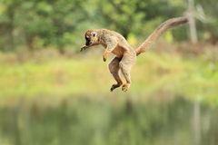 Jumping red-fronted lemur Stock Photos