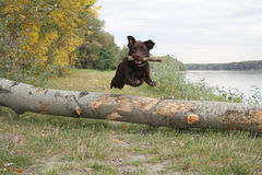 Jumping retriever royalty free stock photography
