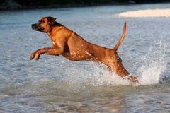 Jumping Rhodesian Ridgeback Stock Photography