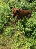 Jumping ridgeback Royalty Free Stock Photography