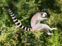 Jumping ring-tailed lemur Royalty Free Stock Images