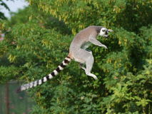 Jumping ring-tailed lemur. In the air on the green background Stock Image