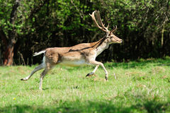 Jumping roe deer Stock Images