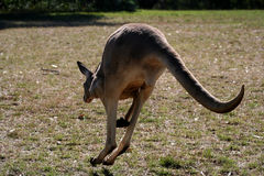Jumping Roo Stock Photo