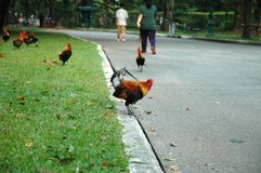 Jumping Rooster Stock Images