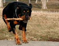 Jumping Rottweiler. Over the bench playing fetch Stock Photos
