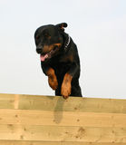 Jumping rottweiler. Jumping purebred mastiff rottweiler : sportive watching dog Stock Photo