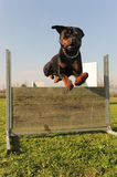 Jumping rottweiler Stock Images