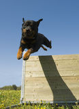 Jumping rottweiler Royalty Free Stock Photos
