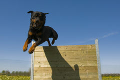 Jumping rottweiler Royalty Free Stock Photo