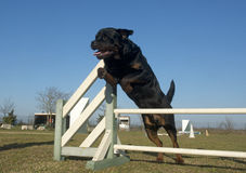 Jumping rottweiler Royalty Free Stock Image