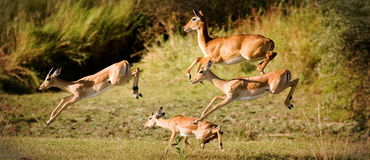 Jumping for safety. Herd of impala and one puku leaping Royalty Free Stock Images