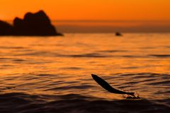 Jumping salmon. Jumping out of the water at sunset pink Stock Image